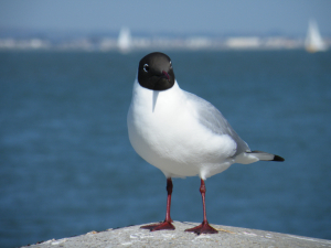 Seagull at Cowes