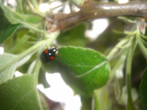 Possible Harlequin ladybird from Merton