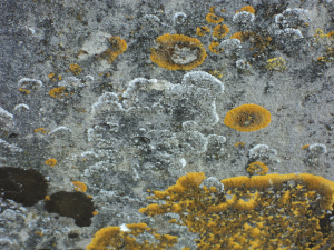 Two types of Lichen on Gravestone - St Peters Churchyard, Old Woking
