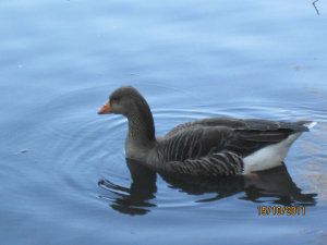 Goose on a pond on the edge of town