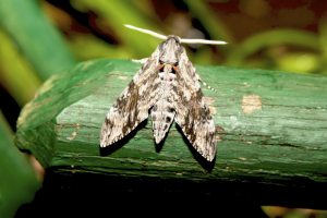 Hawk Moth - Papua New Guinea
