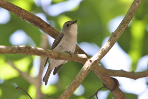 Brown Flycatcher, Thailand