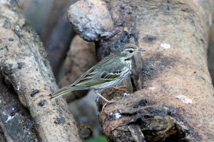 Olive-backed Pipit, Thailand