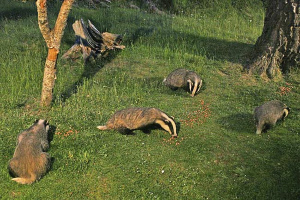 Badgers, Highlands