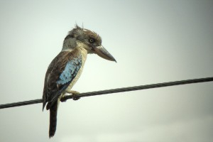 Blue-winged Kookaburra, Queensland