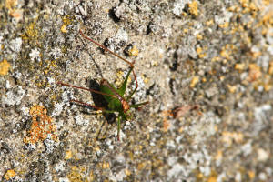 Large cricket on lichen covered wall