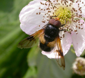 Volucella hoverfly