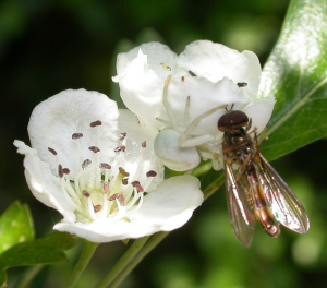 Crab Spider with syrphid prey