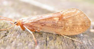 The Caperer: a Brown Sedge Caddis