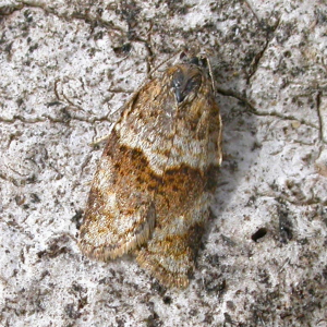 Dark-barred Tortrix