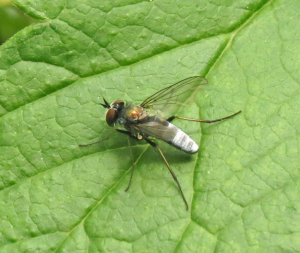 Blue-bodied fly
