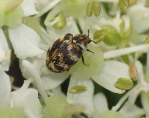 Very small beetle on hogweed flowers