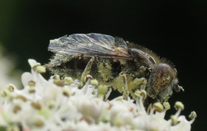 Stub-winged Fly