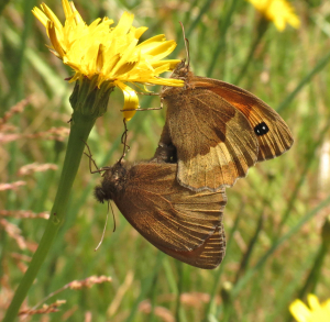 Meadow Brown pair