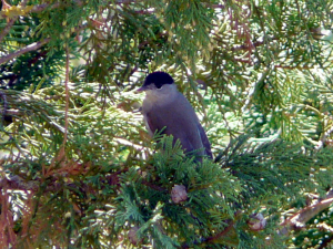 Blackcap re-entered as single observation