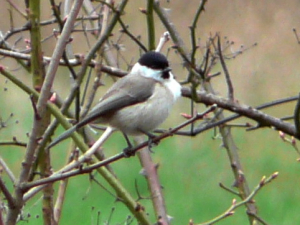 Willow Tit - re-entered as single observation