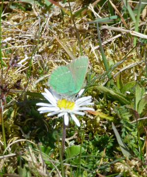 20120512_28 Green Hairstreak