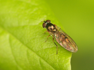Bronze winged fly