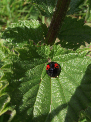 Ladybird on the meadow