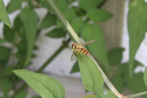 Small hoverfly