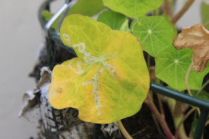 Leaf miners on nasturtium leaf