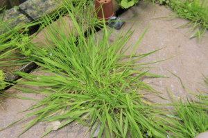 Soft-leaved grass