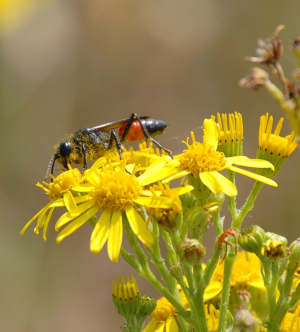 red banded sand wasp on ragwort