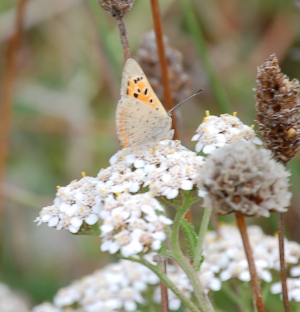 Small Copper Butterfly on Yarrow