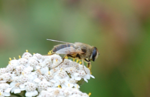 Eristalis Tenax on Yarrow