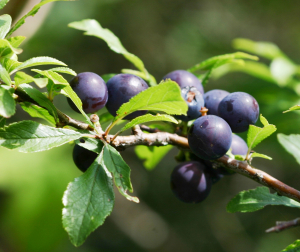 Early Sloes