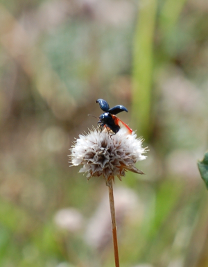 Blue / Black Leaf Beetle on dried Thrift