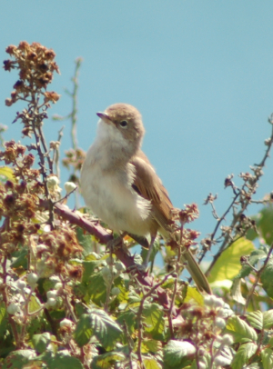 Whitethroat Female