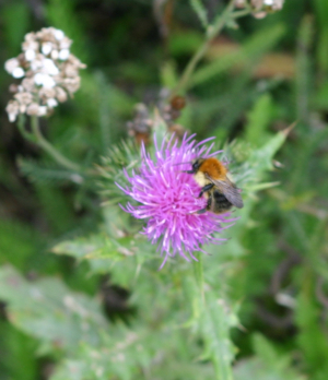Common Carder on thistle