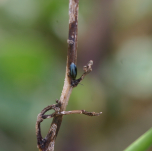 Very small black beetle