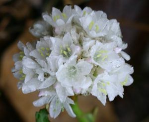 White Scented Thrift