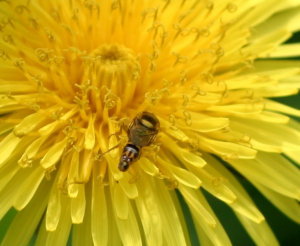 Coud be a very small hoverfly