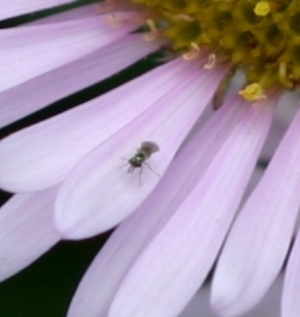 NOT the [ET] Hoverfly
