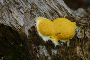 Lemon Peel Slime Mould