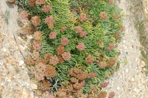 Pebble beach plant [b]