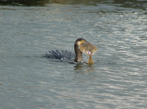 Cormorant with large fish