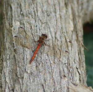 Common Darter - Red