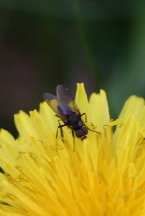 Small Black Fly