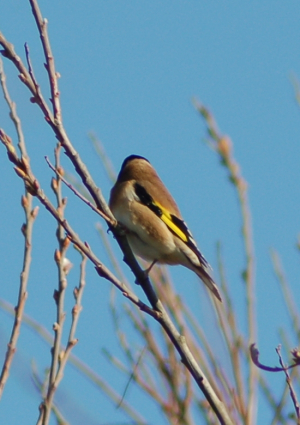 Goldfinch - Adult