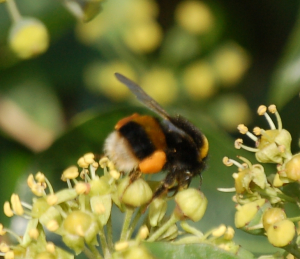 Buff-tailed Bumblebee