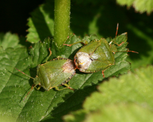 Green Shield-bug