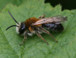 White faced mining bee