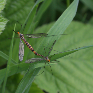Spotted Crane Flies Mating
