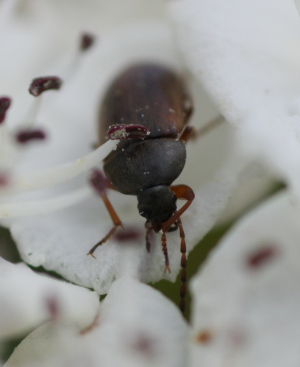 Beetle for ID [c]