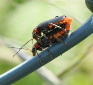 Cantharis Rustica Mating