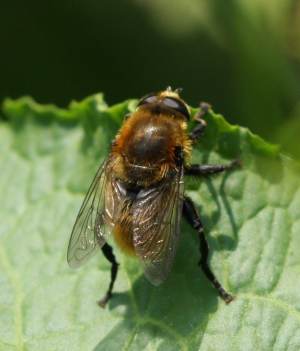 Hoverfly for ID